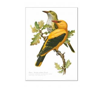 Natur Kunstdruck Pirol