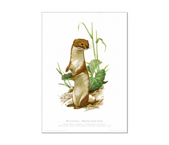 Natur Kunstdruck Mauswiesel