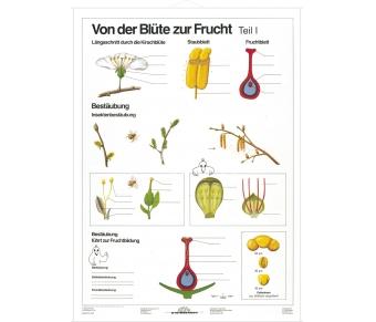 DUO Blüte zur Frucht Teil I / Lernkarte