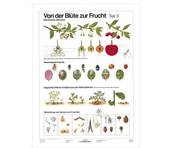 DUO Blüte zur Frucht Teil II / Lernkarte