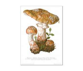 Kunstdruck I Paketpreis Serie 5 Pilze I (essbar)