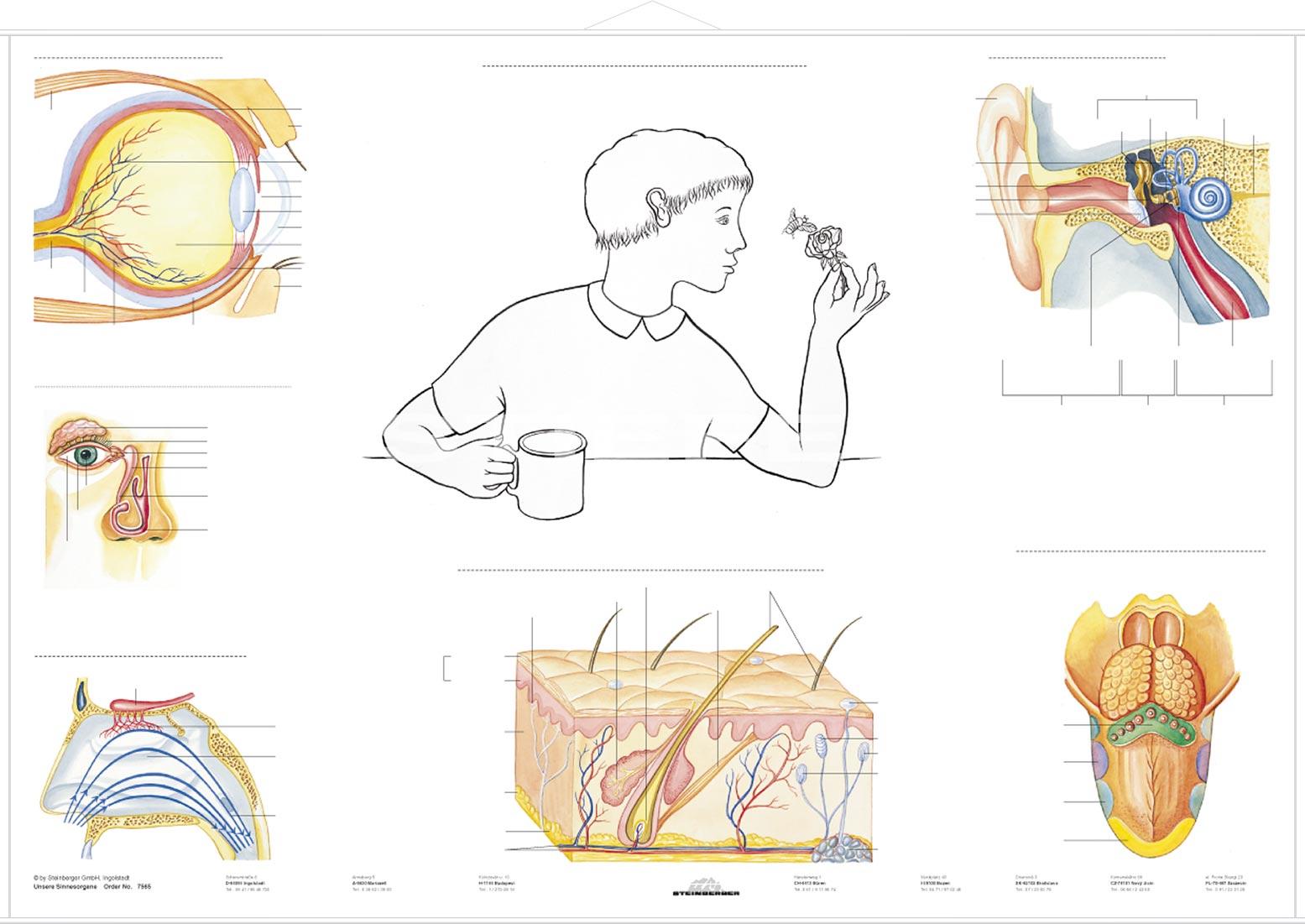 DUO Das Atmungssystem / Lernkarte - Lerndino.de