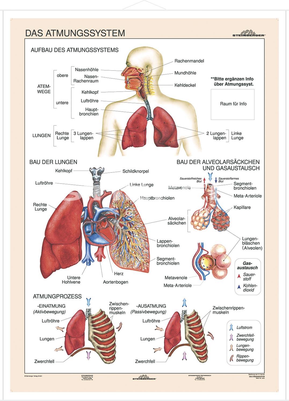 Beste Organe Atmungssystem Fotos - Menschliche Anatomie Bilder ...