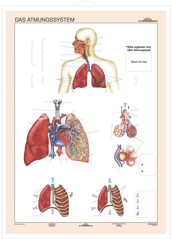 Wunderbar Angewandte Anatomie Des Atmungssystems Fotos - Anatomie ...