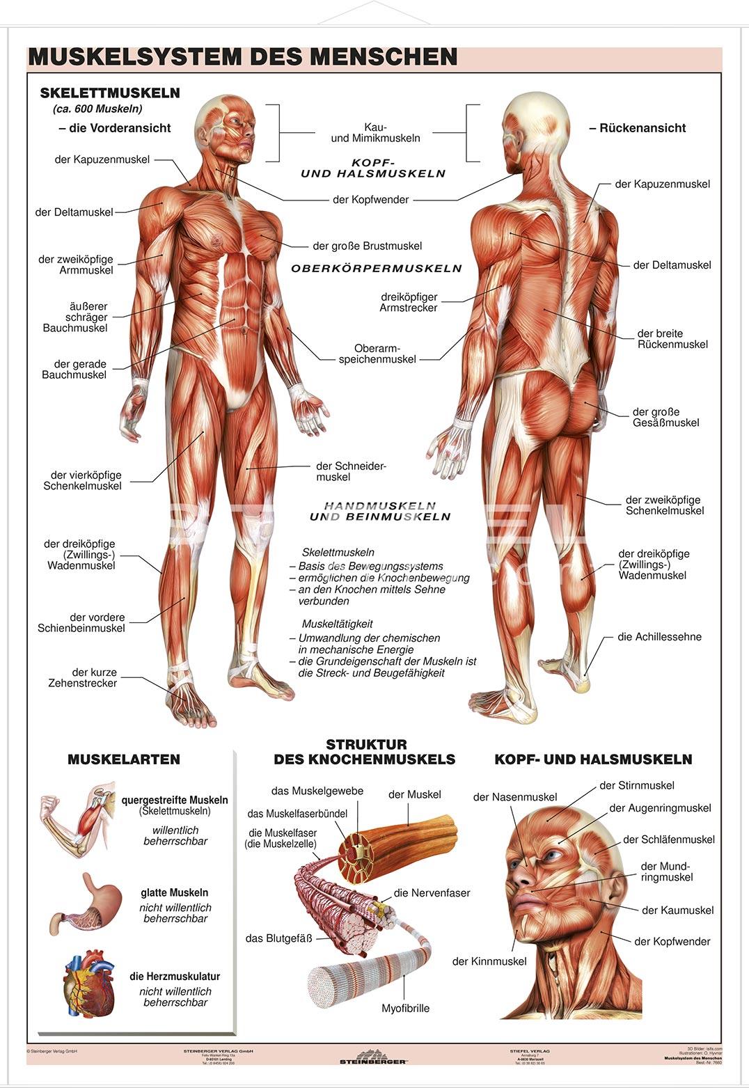 Niedlich Muskelsystem Fotos - Menschliche Anatomie Bilder ...