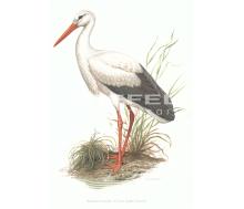 Weisser Storch