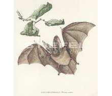 Natur Kunstdruck klein Langohr Fledermaus
