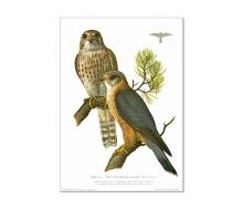 Natur Kunstdruck Merlin