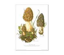 Natur Kunstdruck Speisemorchel