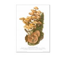Natur Kunstdruck Stockschwämmchen