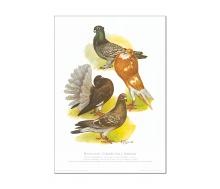 Natur Kunstdruck Taube