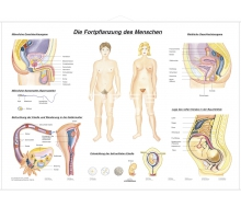 DUO Fortpflanzung des Menschen / Lernkarte