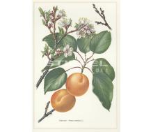 Natur Kunstdruck klein Aprikose