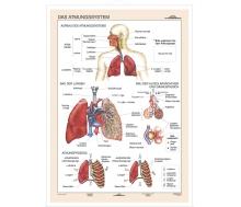 DUO Das Atmungssystem / Lernkarte