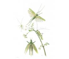 Natur Kunstdruck klein Laubheuschrecke