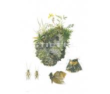Natur Kunstdruck klein Grille/Grabheuschrecke