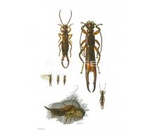 Natur Kunstdruck klein Ohrwurm