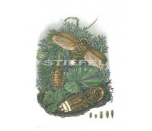Natur Kunstdruck klein Großes Johanniswürmchen