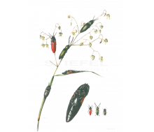 Natur Kunstdruck klein Gefleckter Pelzkäfer
