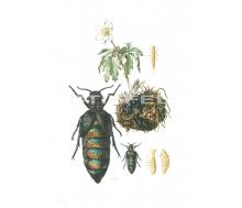 Natur Kunstdruck klein Ölkäfer/Maiwurm