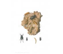 Natur Kunstdruck klein Mehlkäfer