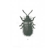 Natur Kunstdruck klein Schwarzer Igelkäfer