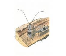 Natur Kunstdruck klein Alpenbock