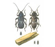 Natur Kunstdruck klein Blauer Scheibenbock