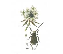 Natur Kunstdruck klein Weisslicher Breitrüssler