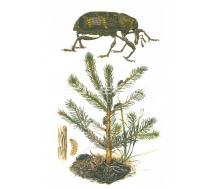 Natur Kunstdruck klein Großer Brauner Rüsselkäfer