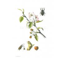 Natur Kunstdruck klein Apfelblütenstecher