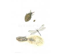Ameisenjungfer/Ameisenlöwe