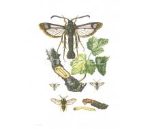 Natur Kunstdruck klein Hornissenschwärmer