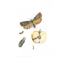 Natur Kunstdruck klein Johannisbeer Glasflügler