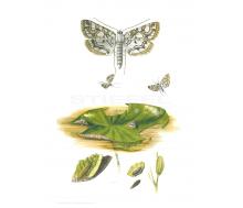 Natur Kunstdruck klein Mehlmotte
