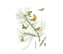 Natur Kunstdruck klein Kiefernspanner