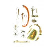 Zuckmücke