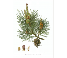 Natur Kunstdruck Waldkiefer