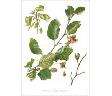 Natur Kunstdruck Rotbuche