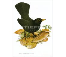 Natur Kunstdruck Amsel