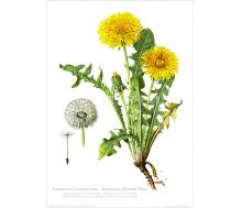 Natur Kunstdruck Frühlings Löwenzahn