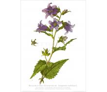 Natur Kunstdruck Nesselblättrige Glockenblume