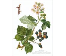 Natur Kunstdruck Brombeere