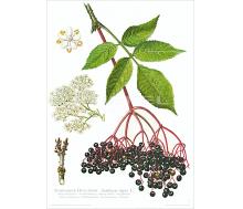 Natur Kunstdruck Schwarzer Holunder