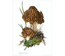 Natur Kunstdruck Frühjahrslorchel