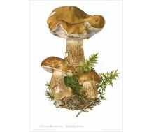 Natur Kunstdruck Gallen Röhrling
