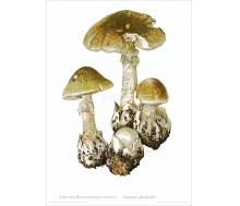 Natur Kunstdruck Grüner Knollenblätterpilz