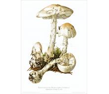Natur Kunstdruck Kegelhütiger Knollenblätterpilz