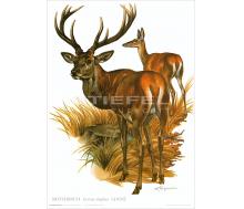 Natur Kunstdruck Rothirsch