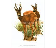 Natur Kunstdruck Reh